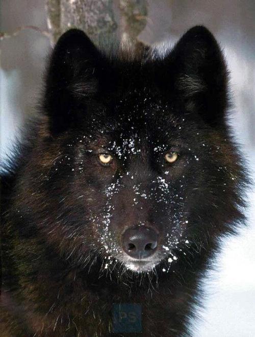 El Lobo de ojos rojos / The Demon Wolf Z4wmixdwixskik7qxc4b34e85c119b9_el-lobo-negro_m