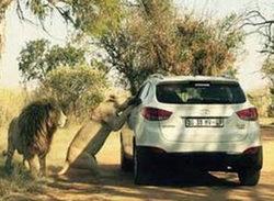 Publican la imagen del instante en que la editora de 'Juego de tronos' fue atacada por un león