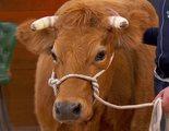 'MasterChef 6': Malestar entre los ganaderos por llevar una vaca al plató y confundirse de raza