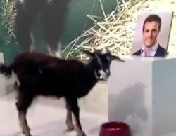 La cabra vidente de 'Madrid Directo' acierta su resultado: Pablo Casado, nuevo presidente del PP
