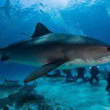 Calleja nadará entre tiburones