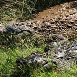 Dos temibles cocodrilos, en 'Fauna letal'