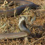 La serpiente más letal del planeta se enfrentará a Frank Cuesta en 'Wild Frank'