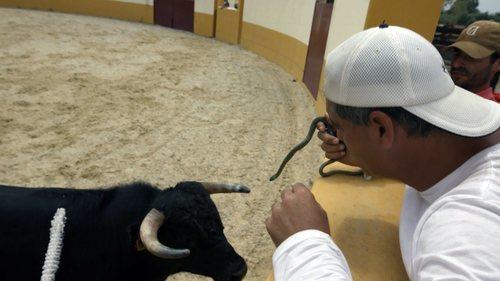 Una vaquilla se aproxima a Frank Cuesta