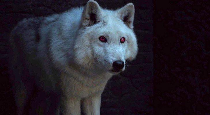 Fantasma, el lobo de Jon Nieve, en 'Juego de tronos'