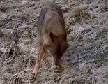 Jalis de la Serna analiza en 'Natural' al lobo, el depredador de los jabalíes