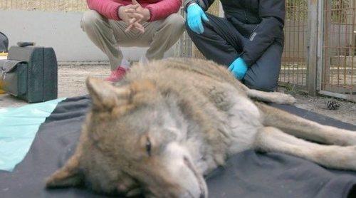 'Wild Frank' y Frank Cuesta ponen en el punto de vista al lobo ibérico y la propuesta de su caza regulada
