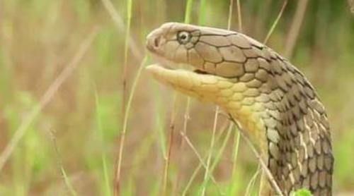 Frank Cuesta recorre la selva asiática en busca de la cobra real, la serpiente con más veneno del mundo