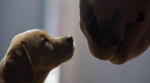 """Anuncio de Budweiser """"Puppy Love"""" de la Super Bowl 2014"""
