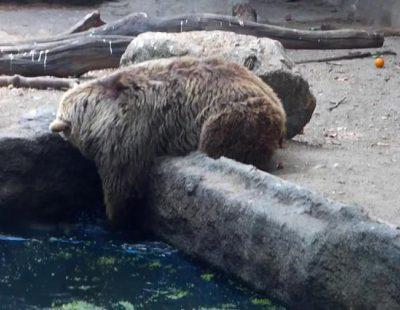 Un oso rescata a un cuervo herido del agua