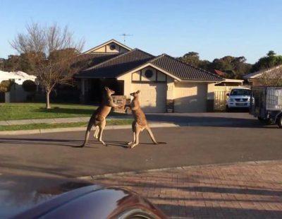 Dos canguros se lían a puñetazos en plena calle